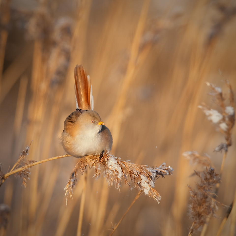 bearded_reedling-female-blog