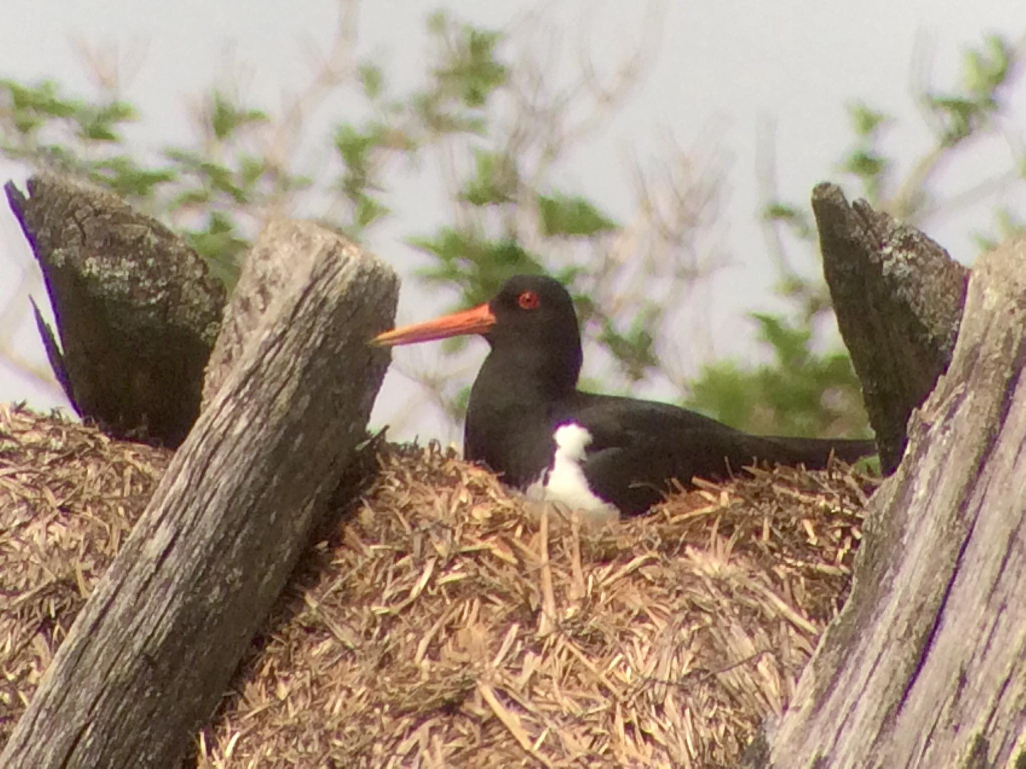 En svartvit fågel med morotsfärgad näbb har bosatt sig på förrådstaket