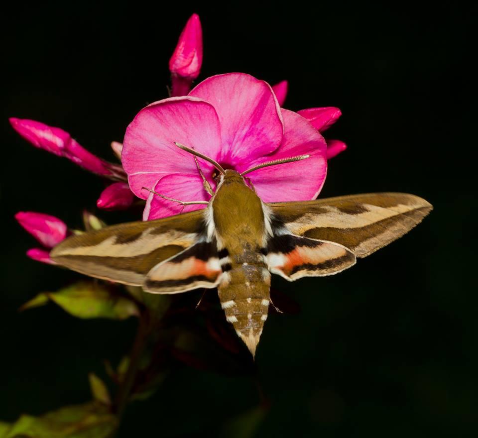 På spaning efter nattfjärilar – Fredag 28 juli kl 21.30-23.30
