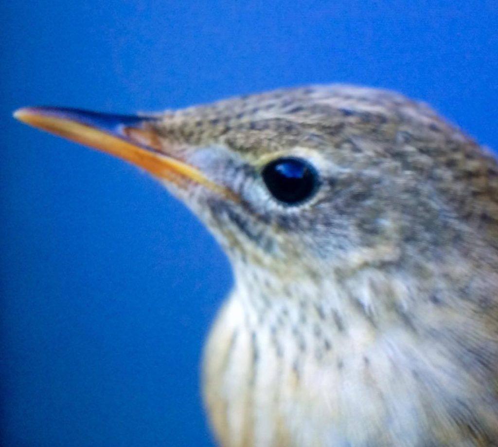 varbergs ornitologiska förening