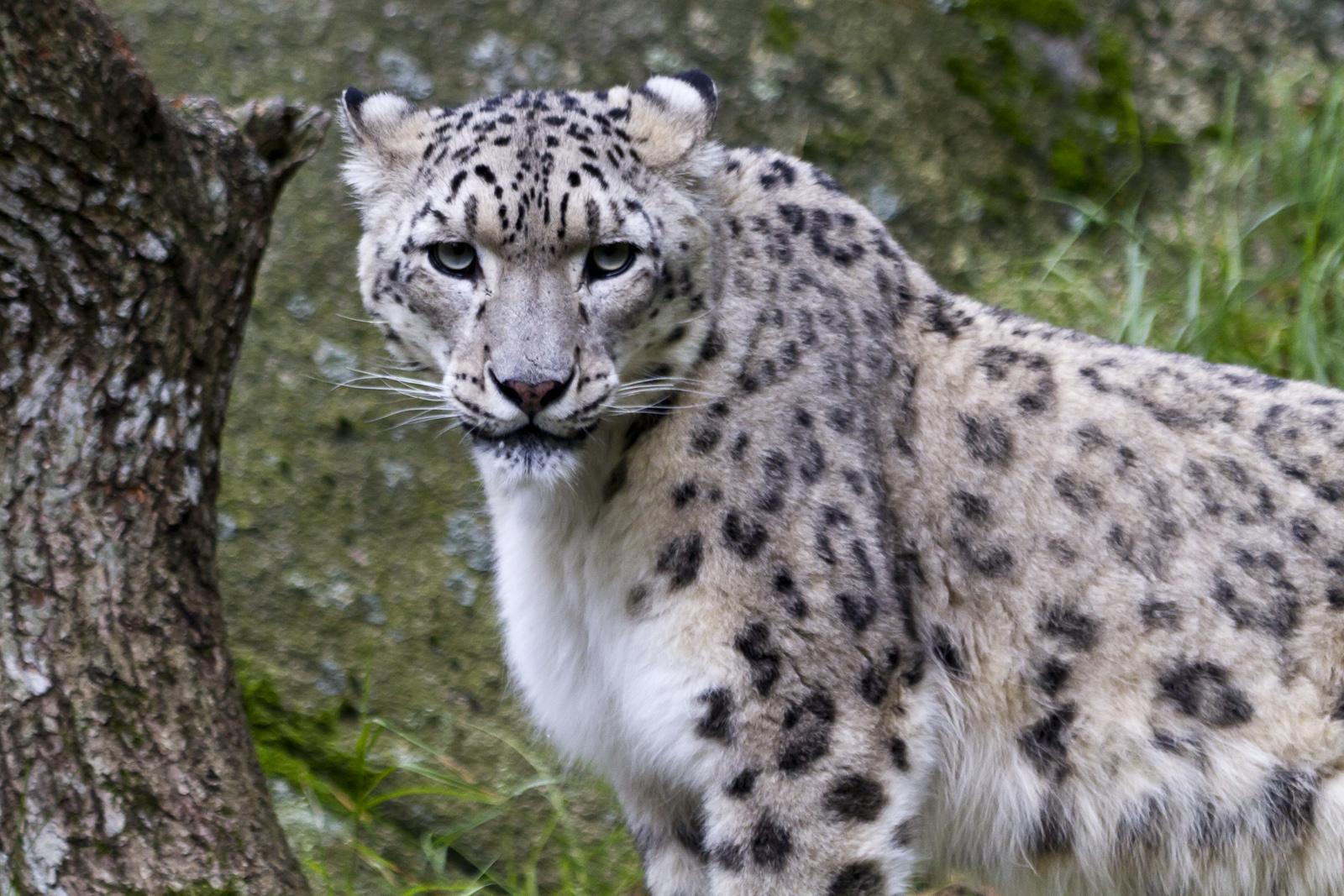 Föreläsning om snöleoparder i Mongoliet