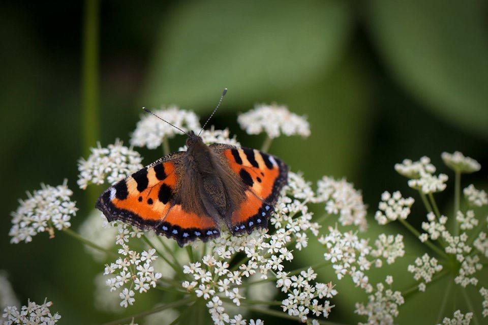 Fjärilsvandring på söndag