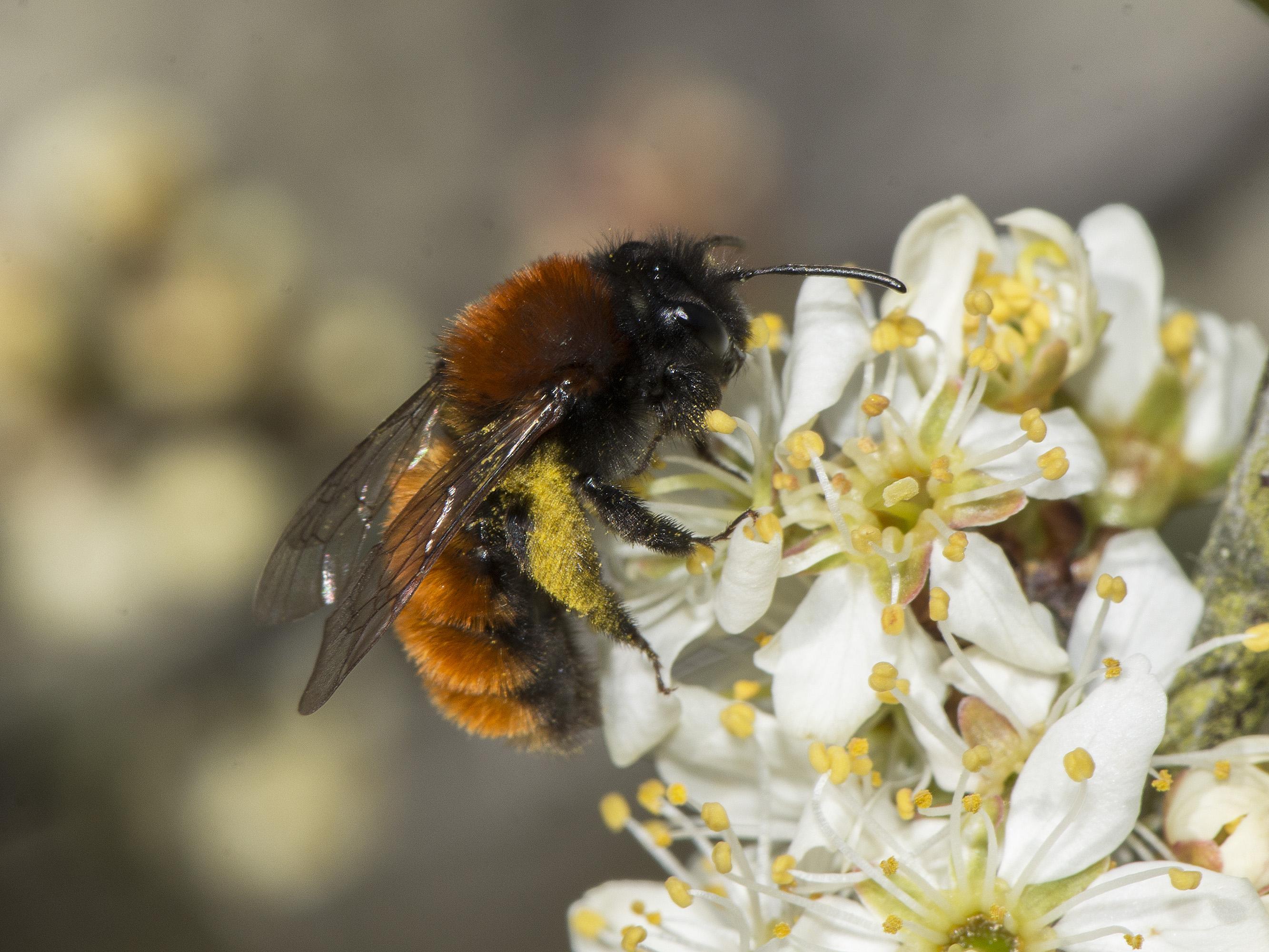 Pollineringsveckan 16-24 maj