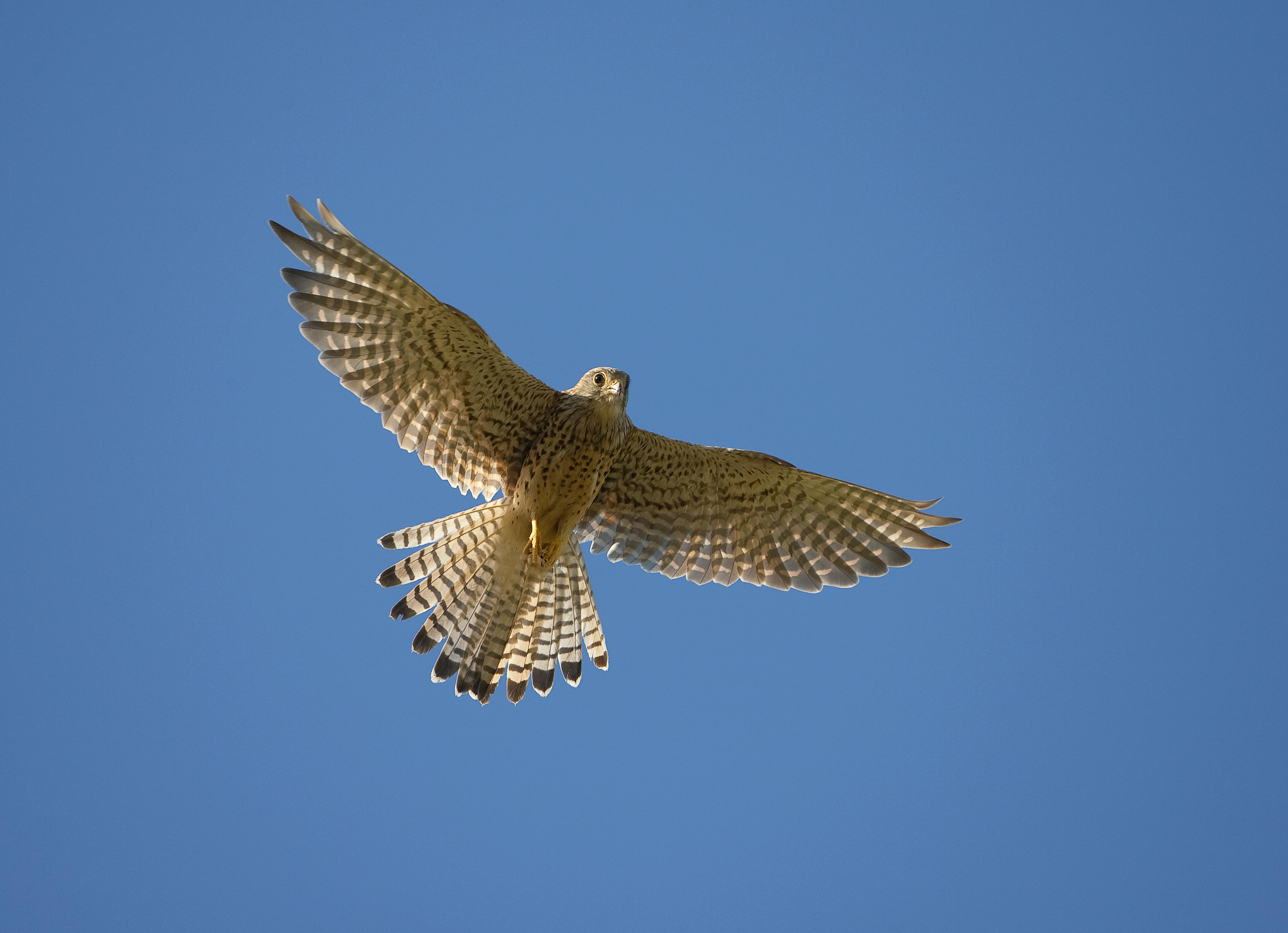 Fågelskola rovfåglar – guidning
