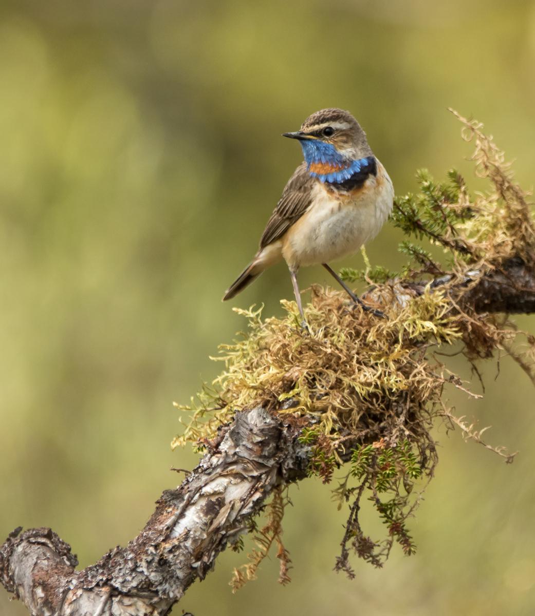 Sångfåglar med Ingemar Lind