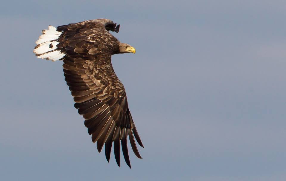 Fågelskola del 3: Rovfåglar