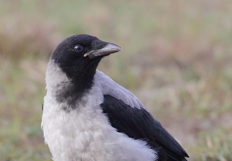 fågelskola: om tättingar